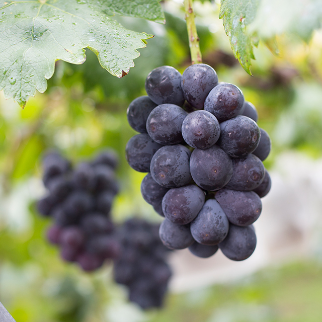 """OKAYAMA]All-you-can-eat pione grapes, the """"black diamonds."""" Try the popular  grape picking in Niimi.  Fruit Country Kumano   Next Trip -WEST JAPAN &  SETOUCHI-"""