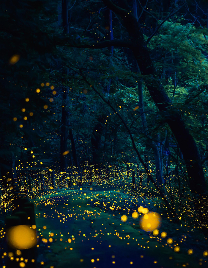 Golden fireflies (Rashomon)